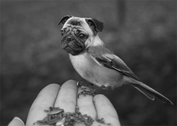 Funny Animal Photography - Half Bird Half Dog Print - Pug Dog - Chickadee - Bird Body - Pug Face - Weird Animal - Black and White