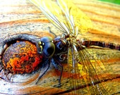 nature photography - Eye To Eye - oversize postcard, dragonfly, woodland print, whimsical art, yellow gold & orange, country life  8.5X5.5