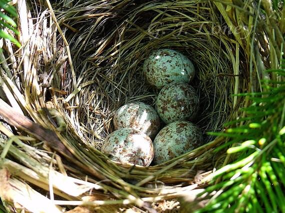 Hidden Treasure - Nature, Birds Nest, Spotted Eggs, Shabby Chic, Country Life, Home Decor, Spring, Whimsical, Nursery Art 5X7 - Fine Art