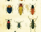 11x17 Vintage Science Plate Poster. Insects. Beetles - 005