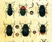 11x17 Vintage Science Plate Poster. Insects. Beetles -016
