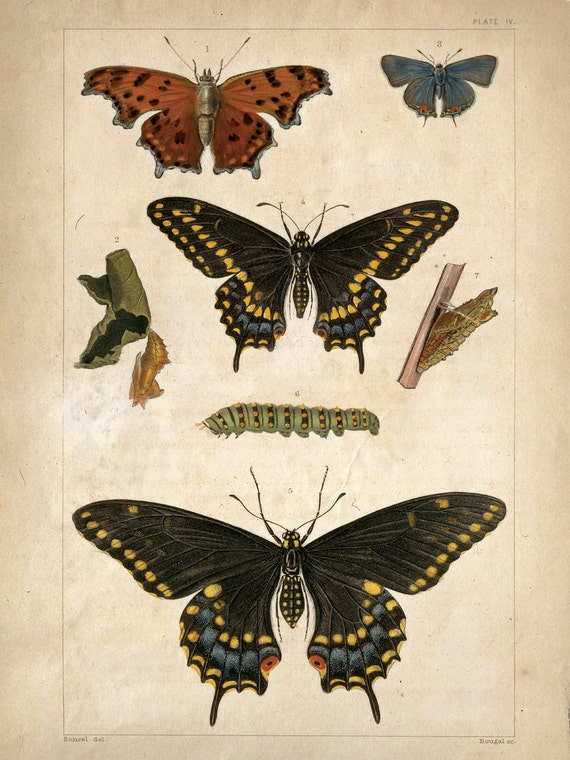 Items similar to Vintage Science Plate Poster Reproduction ... Vintage Butterfly Chart