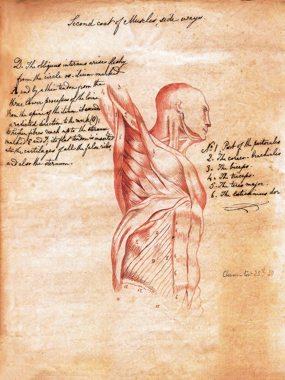 18x24 Vintage Anatomy. Torso Muscle sketch with text poster 083