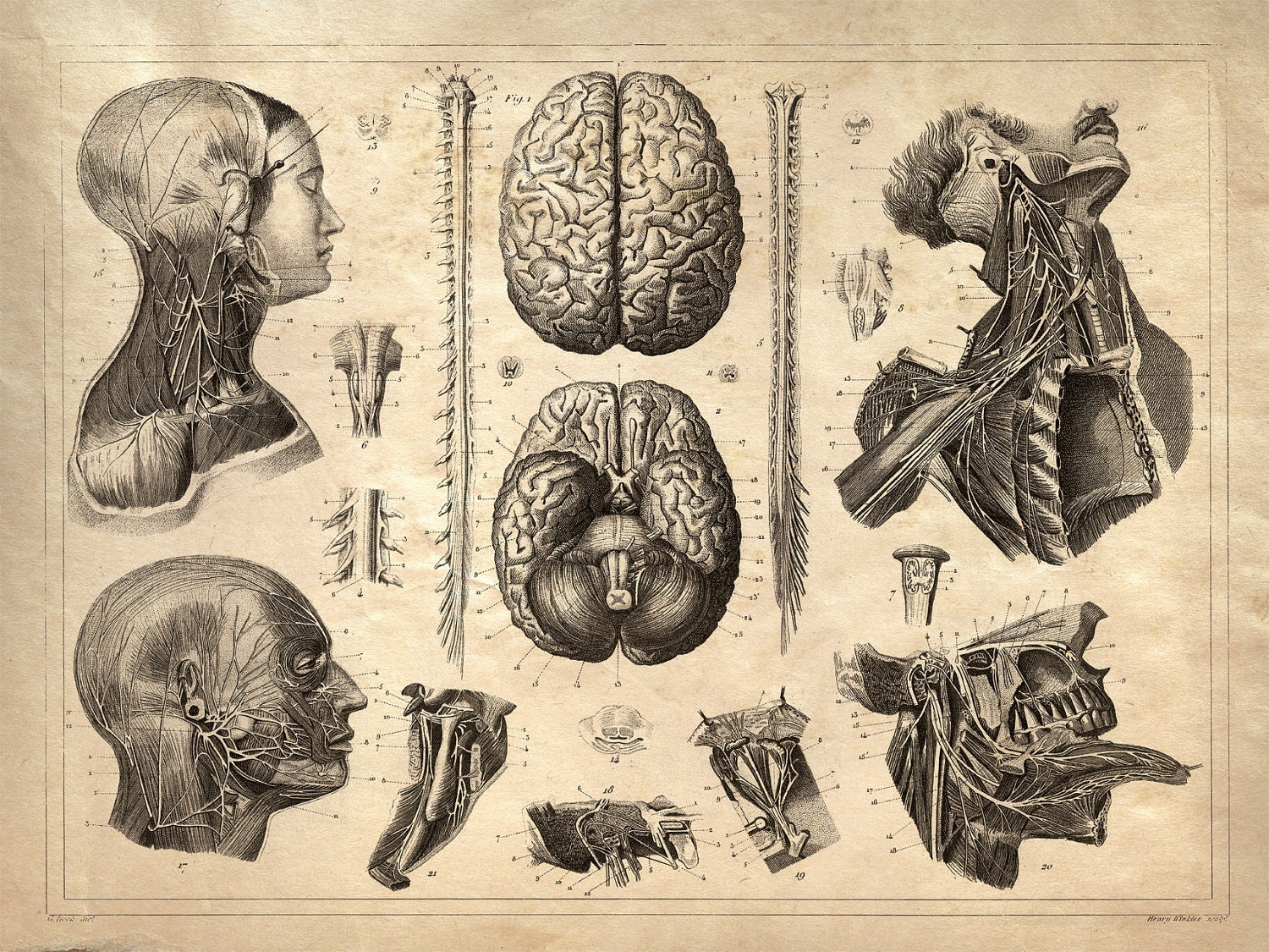 Vintage Anatomy Print Reproduction  Nervous System  Brains
