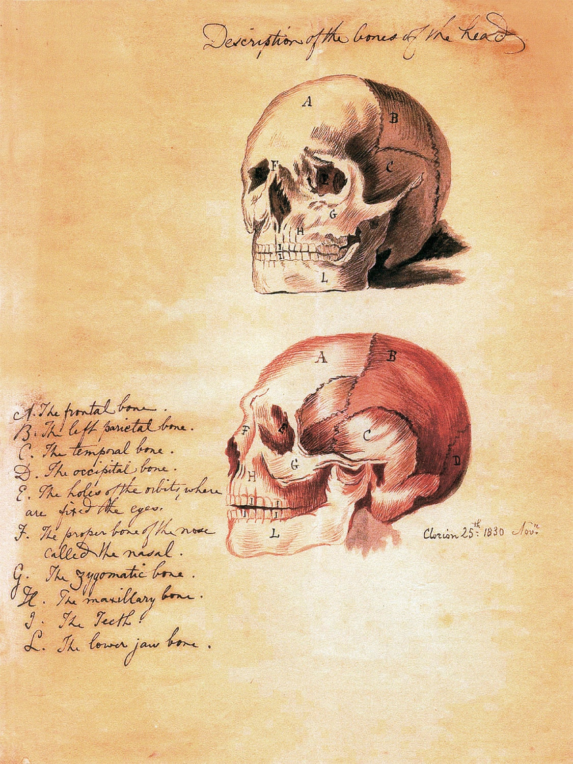 18x24 vintage anatomy  human skull with text poster 082