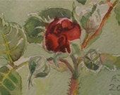 Portland rose bud, watercolour