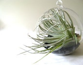 Bubble hanging glass terrarium kit