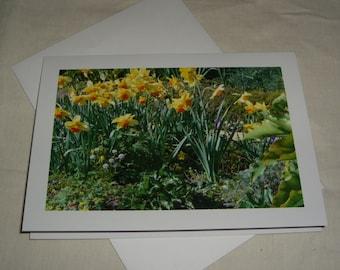Daffodil garden Mendocino Co.