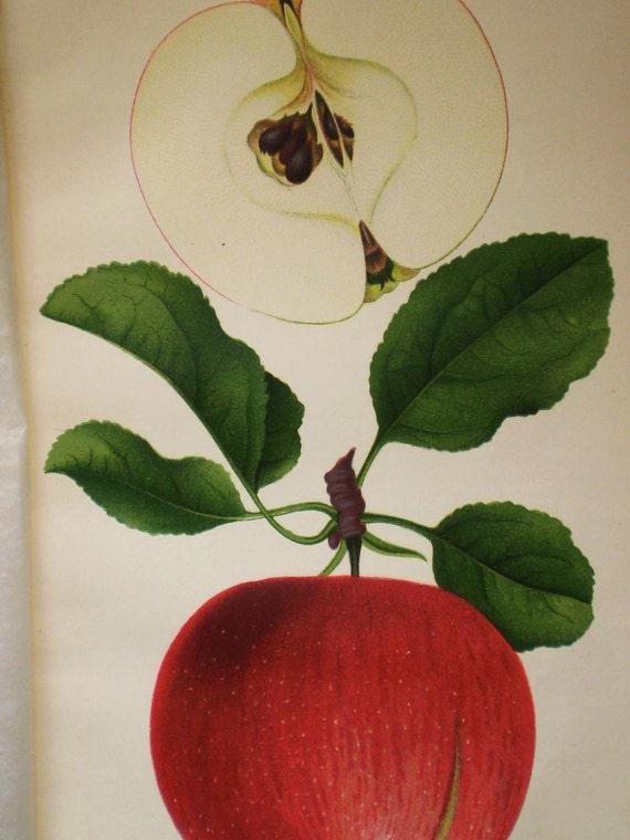 1890 botanical - Switzer apple, fruit print