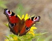 Printable art Photo download Butterfly photographs Peacock whimsical macro nature photography Digital file