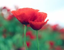 Digital photography Download photo Red poppy Red poppies fields green Red home decor Digital download Romantic gift