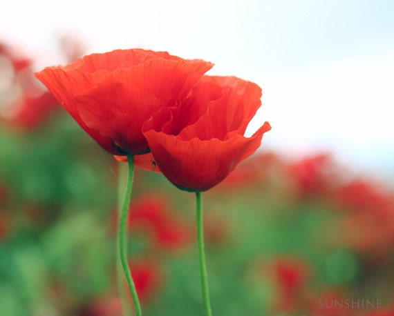 Printable art Poppy photography Digital download Nature photography Red poppies home decor