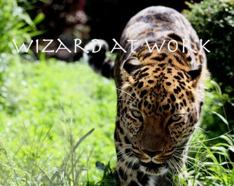 Leopard Photograph - Amur Leopard, stalk, eyes, green eyes, 8x10, matted