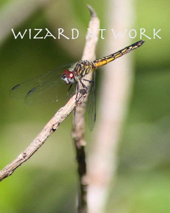Macro Photograph Dragonfly, yellow dragonfly on stick, red eyes, insect, invertebrate, florida wildlife, corkscrew swamp