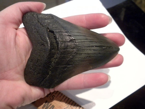 Megalodon Shark Teeth