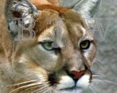 13 X 13 Utah Mountain lion Portrait