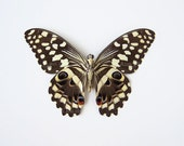 Real Butterfly Specimen Unmounted Ready Spread - Citrus Swallowtail