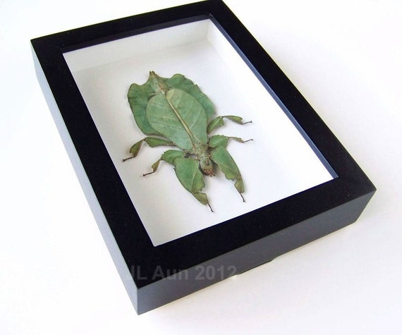 Real Insect Specimen -  Leaf Bug