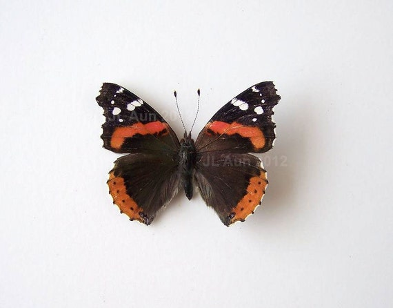 Real Butterfly Specimen Unmounted Ready Spread, Red Admiral