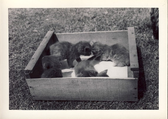 Four Cute KITTENS In a WOODEN BOX Cats Photo Circa 1950s