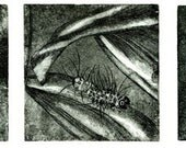 Three stages of Halisidota Maculata, etching of the life cycle of a moth.