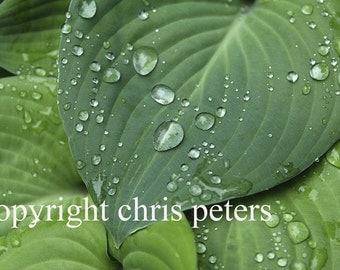Photo Note card, Hostas, free shipping, chris peters, mementos of the journey