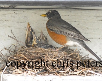 Photo Note card Robin Baby Birds in Nest chris peters mementos of the journey