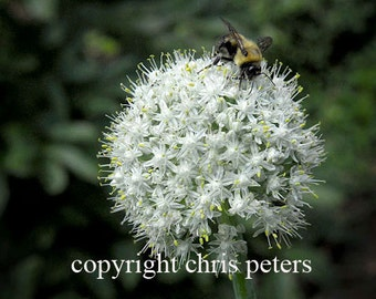 Photo note card, flower, Bee on White Flower, free shipping, photography by Chris Peters, Mementos of the Journey