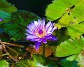 Purple Lily Pond Flower, Macro Lotus Flower Photography, 8x10 Nature Photo