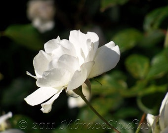 Rose Photograph - White - Fine Art 8 x 10 Flower - Nature Photo