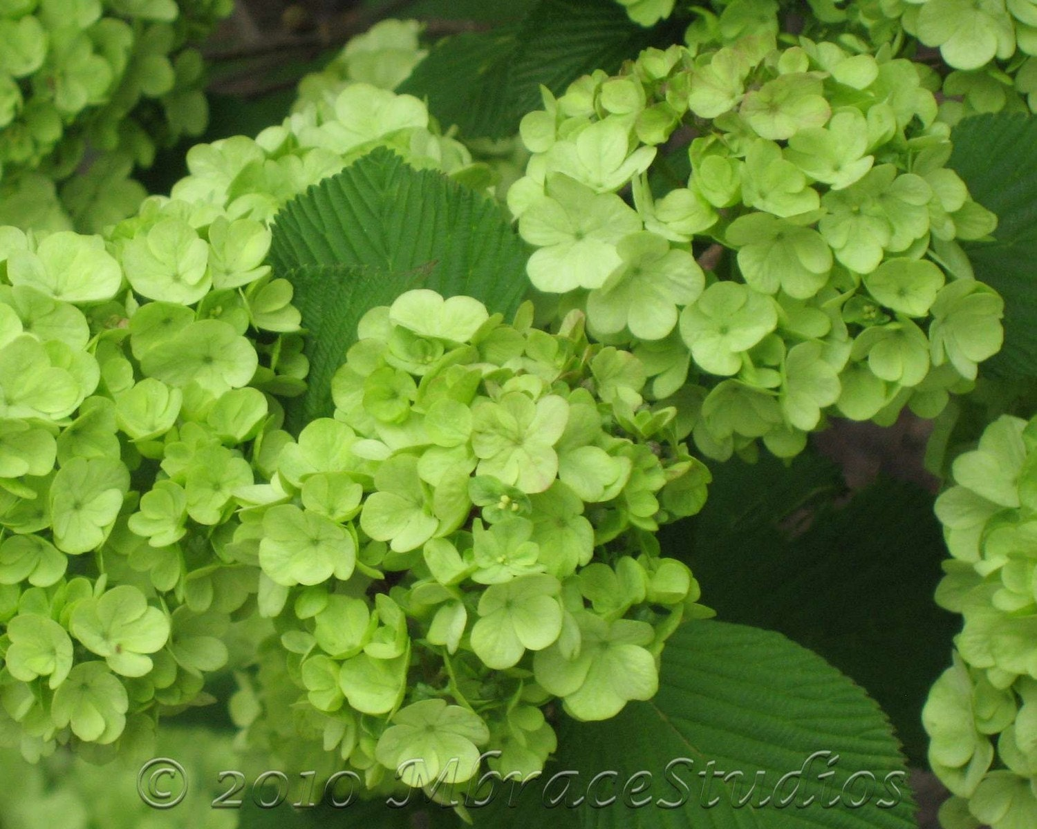 Green Hydrangea Matted Floral Photograph Wall Art For Your