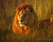 Wild lion at dawn  5x7 photography print, Big wild cat in Africa