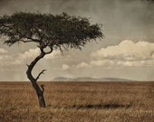 Timeless African Acacia Tree 8x12 fine art photo print