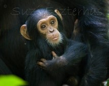 Cuddle Baby Chimpanzee Photo, Baby Monkey, Jungle Nursery Print, Baby Animal Photograph, Animal Photography, Nursery Art, Chimp, Kids Room