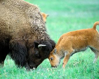 BABY BISON and MOM Play Photo Print, Mom and Baby Animal Photograph, Wildlife Photography, Wall Decor, Safari Nursery Art, Mother, Green