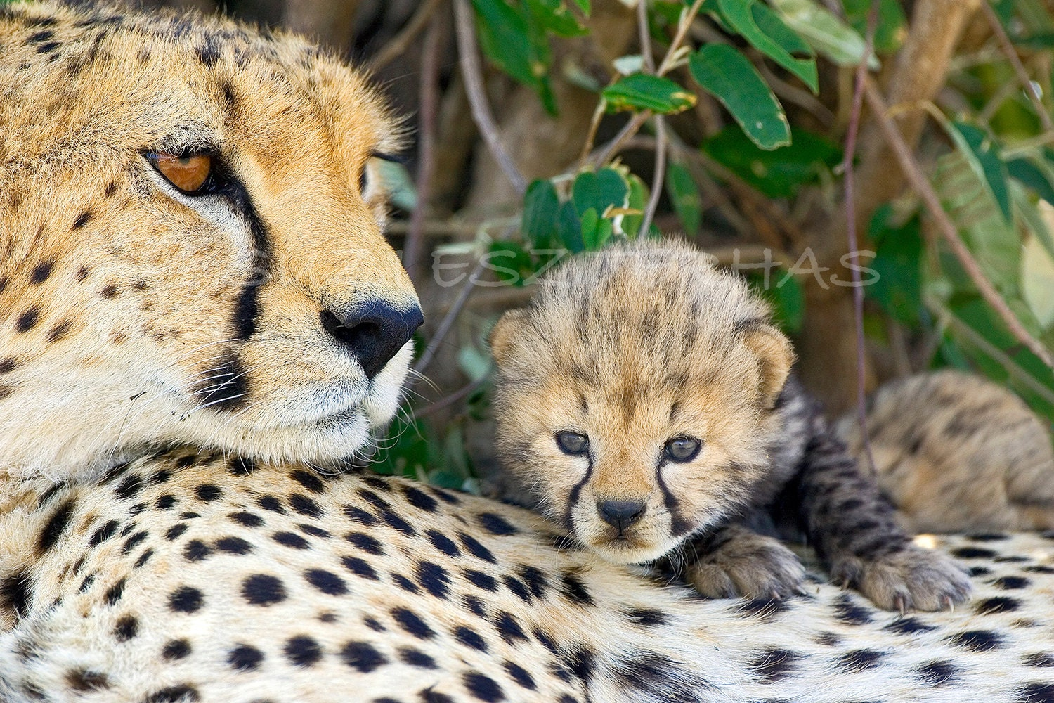 Mom And Baby Animals Set Of Four Photos 8 X 12 Cheetah