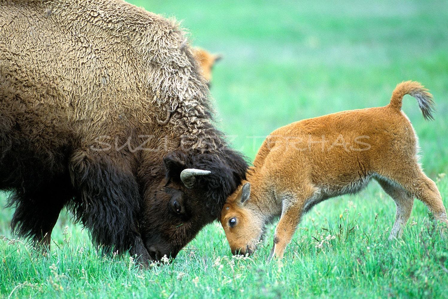 Maman et b b bison jouent photo imprimer photo animaux maman - Photo de bison a imprimer ...