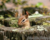The Curious Chipmunk Photography Print