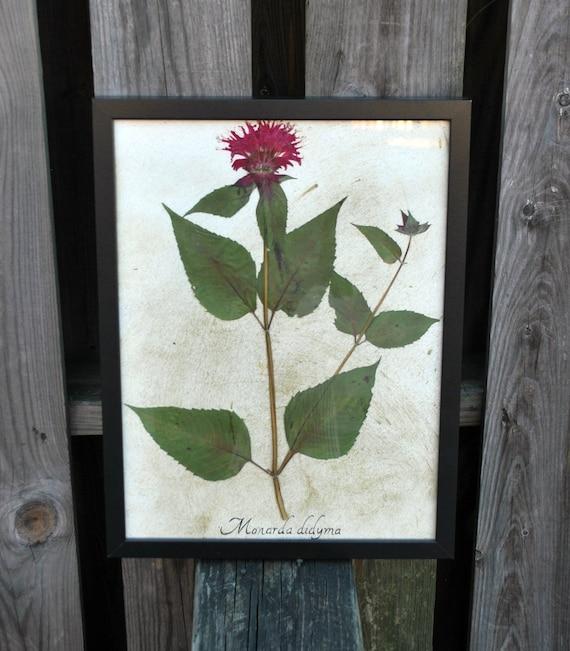 Real Framed Botanical Art - Beebalm Herbarium Specimen - Real Pressed Flower