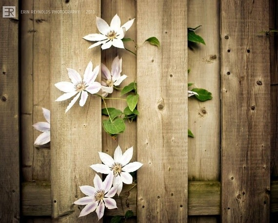 Fenced Clematis blossom - Fine Art Photography Print, Wood, Floral, White Brown Photography Print, Wall Art, Photography Print Clematis