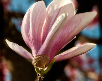 Magnolia flower. 8x8 print. fine art photography. TTV