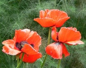 The greatest, biggest, red poppy of them all 50 Seeds