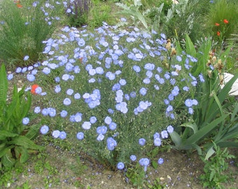 Linum perenne lewisii Blue Flax 1500 Seeds 2 Grams
