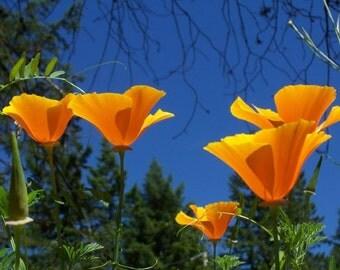 California Poppy 700 Seeds 1 Gram Eschscholzia californica