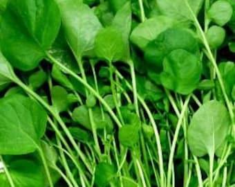 Upland Cress Barbarea verna  500 Seeds 850 Mg