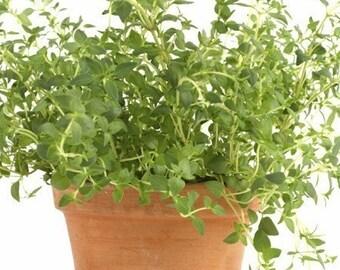 Thyme Thymus vulgaris 750 Seeds 500 Mg