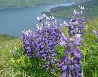 Lupin Lupinus perennis Wildflower 150 Seeds 3 grams