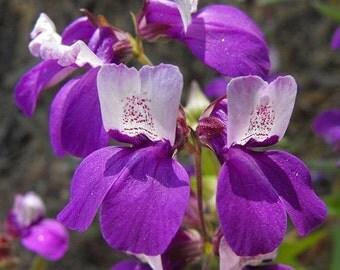 Chinese Houses Collinsia heterophylla 800 Seeds 1 Gram