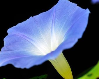 Heavenly Blue Morning Glory 150 Seeds  Ipomoea purpurea Untreated