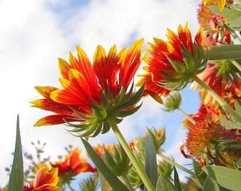 Blanket Flower Gaillardia aristata 300 Seeds 1.5 Grams